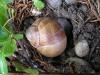 Eingraben der Weinbergschnecke zur Ei-Ablage