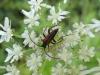 Bockkäfer auf Doldenblütler - Familie Cerambycidae - Foto: Clemens M. Brandstetter