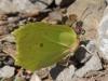 Zitronenfalter - Gonepteryx rhamni L. 1758 -  Foto: Clemens M. Brandstetter