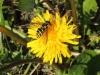 Schwebefliege auf Löwenzahn - Syrphidae -  Foto: Clemens M. Brandstetter