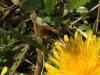 Wollschweber - Bombyliidae -  Foto: Clemens M. Brandstetter
