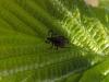 Schild-Zecke -  Ixodidae - Foto: Clemens M. Brandstetter