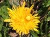 Blütenspinne mit Beute - Foto: Clemens M. Brandstetter