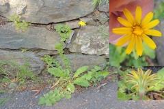 Hyoseris radiata - Korbblütler