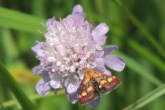 Purpurroter Zünsler - Pyrausta purpurata