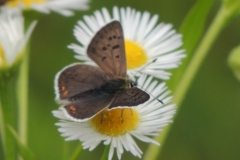 Brauner Feuerfalter - Lycaena tityrus