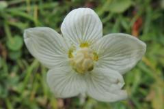 Herzblatt - Parnassia palustris