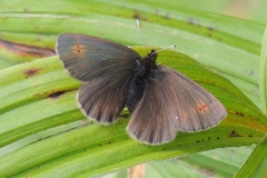 Mohrenfalter - Erebia sp