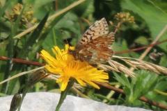 Scheckenfalter - Boloria pales / napaea