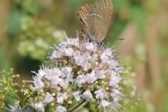 Brauner Eichen-Zipfelfalter - Satyrium ilicis