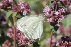 Weissling - Pieris