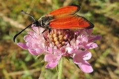 Abruzzen Witterchen - Zygaena rubicunda