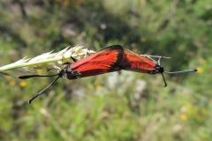 Abruzzen Witterchen - Zygaena rubicunda - Paarung