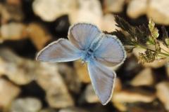 Bläuling beim Aufwärmen - Polyommatus