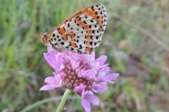Scheckenfalter - Melitaea didyma