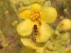 Schwebefliege auf Königskerzenblüte - © Clemens M. Brandstetter