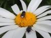 Maskenbiene Männchen - Gattung Hylaeus auf Margerite - Foto: Clemens M. Brandstetter