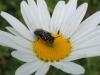 Maskenbiene Weibchen? - Gattung Hylaeus auf Margerite - Foto: Clemens M. Brandstetter