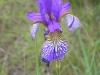 Iris an einem kleinen Tümpel - Foto: Clemens M. Brandstetter