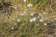 Scheidiges Wollgras - Eriophorum vaginatum