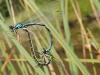 Sibirische Azurjungfer  - Foto: Clemens M Brandstetter