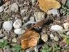 Grosse Heidelibelle