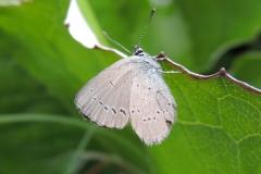 Kleinster Bläuling - Cupido minimus