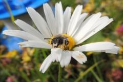 Blattschneiderbiene (Megachile sp. det. T. Kopf)