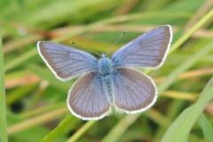 Rotklee-Bläuling - Cyaniris semiargus
