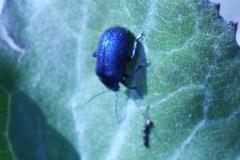 Blattkäfer auf Huflattich - Oreina coerulea