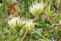 Scheckenfalter - Melitaea athalia