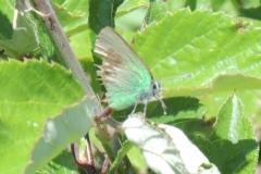 Grüner Zipfelfalter - Callophrys rubi
