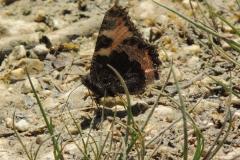Kleiner Fuchs - Aglais urticae