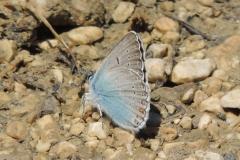Vogelwicken-Bläuling- Polyommatus amandus Schneider