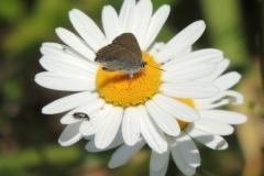 Brauner Eichenzipfelfalter - Satyrium ilicis