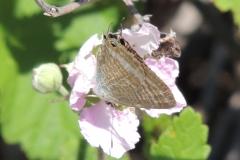 Grosses Wanderbläuling - Lampides boeticus