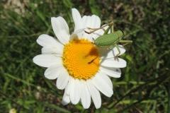 Heuschrecke - Heupferd -