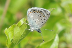 Bläuling - Polyommatus