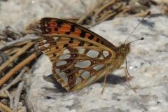 Issoria lathonia - Wanderfalter
