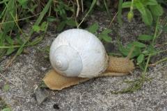 Weinbergschencke - Helix pomatia