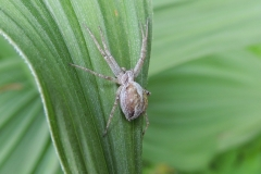 Spinne auf Germer