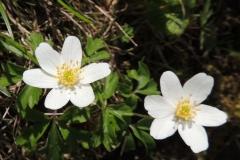 Leberblümchen Hepatica