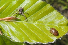 Spinne und Blattkäfer auf Buche