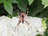 Gartenkreuzspinne - Araneus diadematus - Weibchen