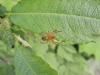 Kürbisspinne - Araniella sp. Weibchen - det. J. Pageler