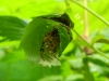 Gartenkreuzspinne im Versteck