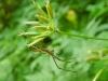 Tetragnatha montana