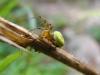 Araniella sp. - Kürbisspinne - det. J. Pageler
