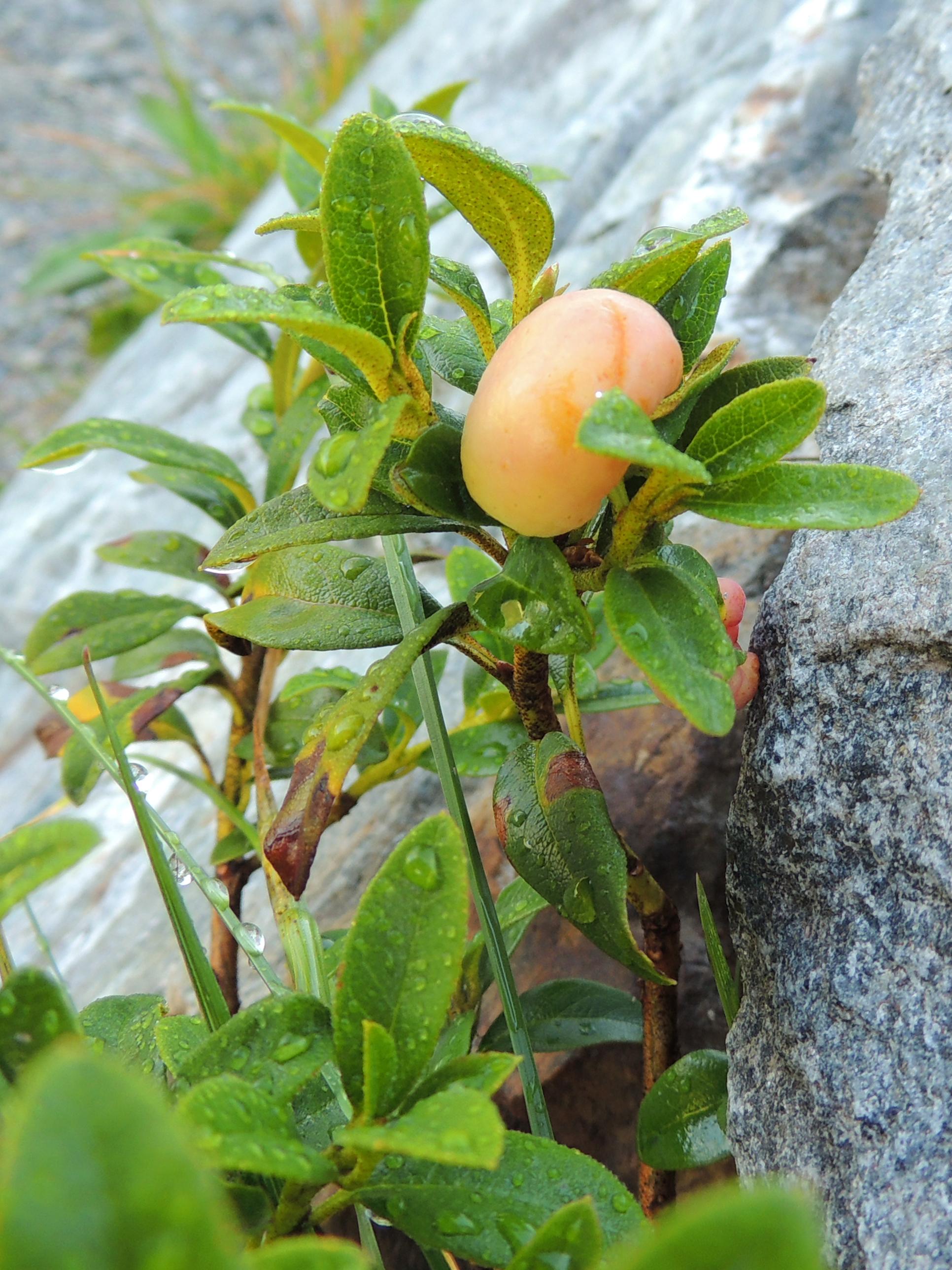 Galle an Almrausch - Exobasidium rhododendri