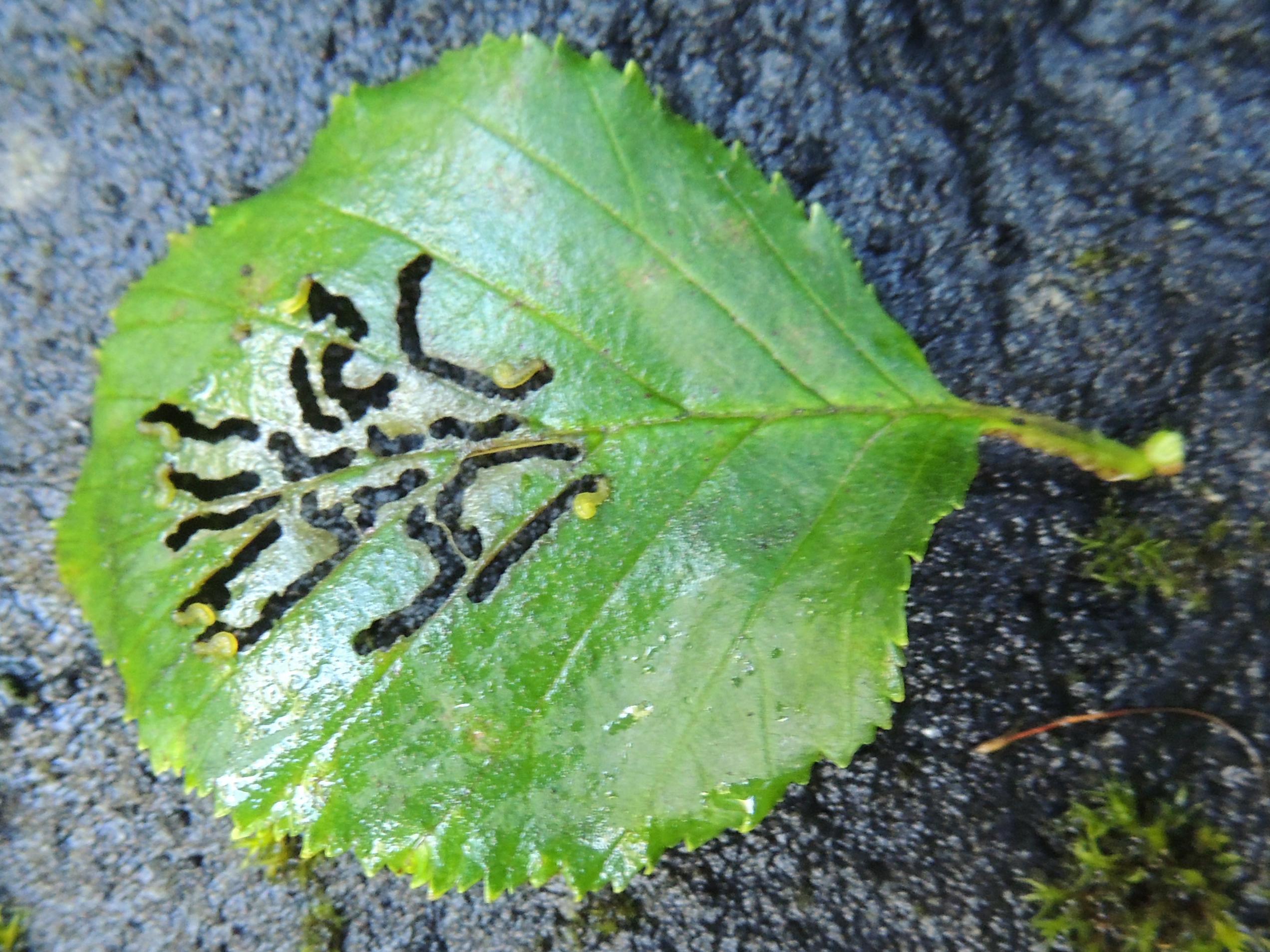 Frassbild auf Grünerle - Alnus viridis